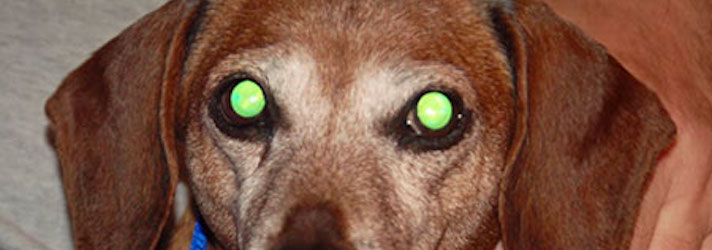 Why Are Dogs Eyes Reflective