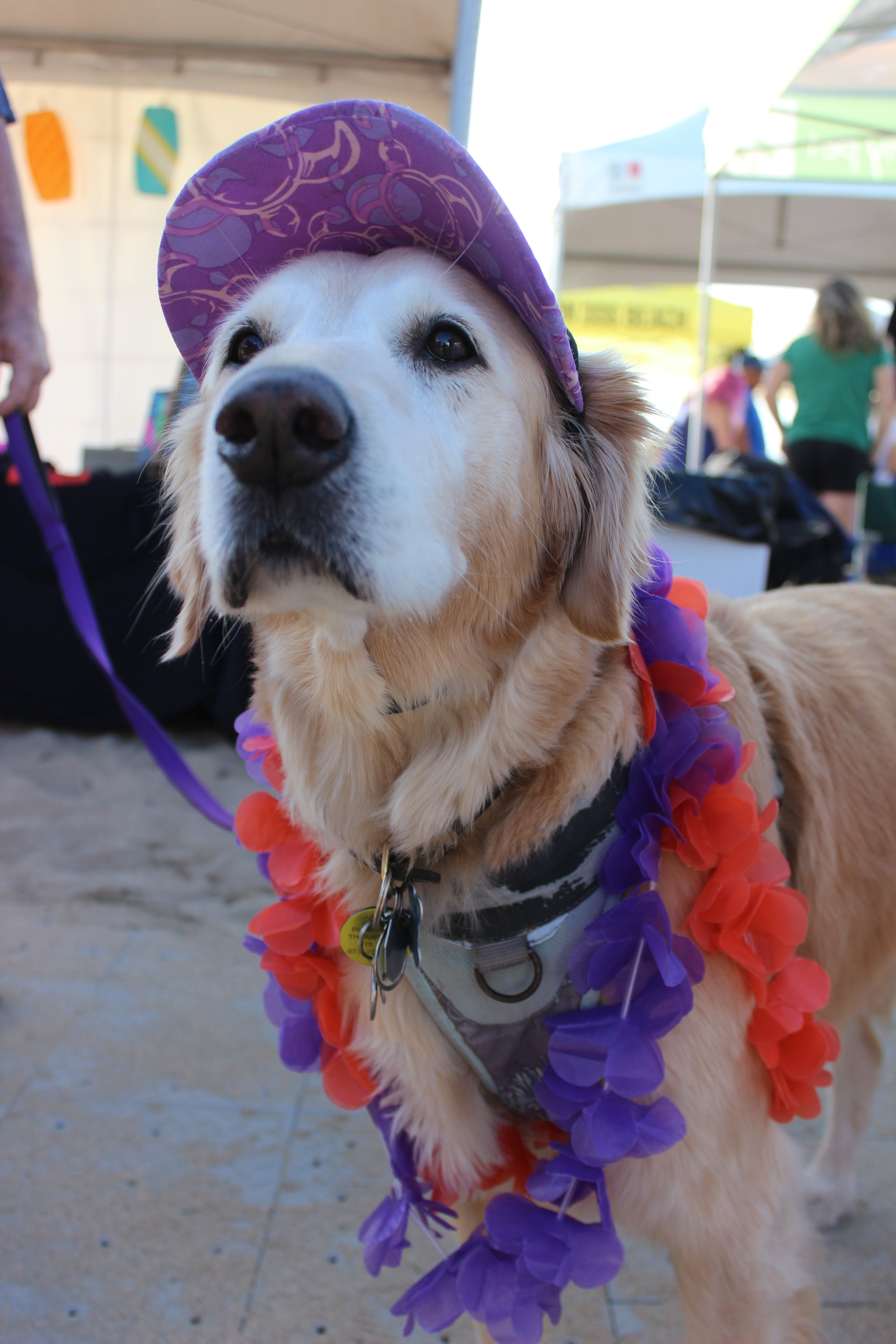 Meet Goldie, a retired surf veteran and the true hero of this event.