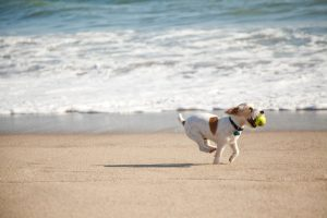 Beat Boredom: jack Russell running on beach | Fitdog Blog
