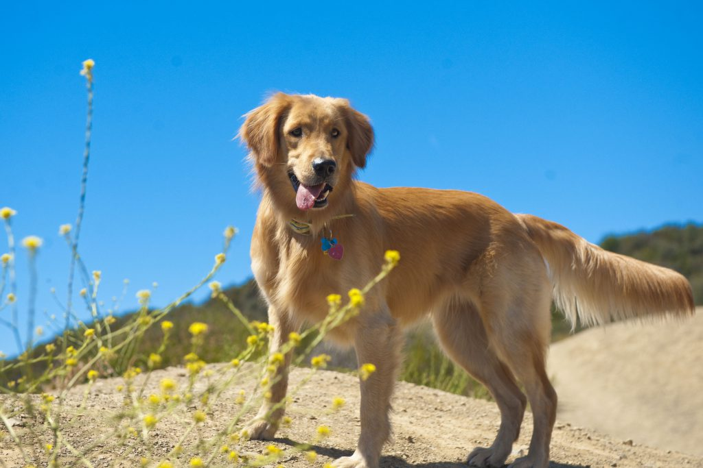 dogs and rattlesnake safety