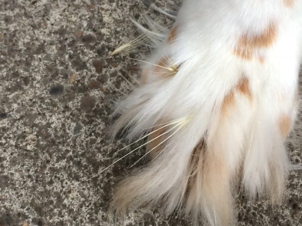 Look out for foxtails in paws | Fitdog Blog