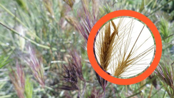 Foxtails in Dogs: The dangerous summer seed ... | Fitdog Blog
